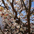 シンボルツリーの梅の花は、今年は長持ち!
