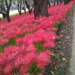 9月20日(木曜日)‥彼岸花(マンジュシャゲ)満開の権現堂公園