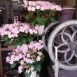 珈琲館  サンさん  綺麗な紫陽花