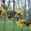 渡りの蝶は柔らかく舞う・・・わが夏のうた2017