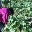 大根とキウイ収穫