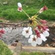 さらさ桜日記となのなの菜の花日記