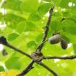 樹木ウォッチング冬から夏へ313ミツバアケビ2