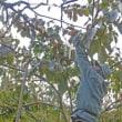 枝についたまま渋を抜く柿