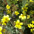 おはようの花」 ウインターコスモス12月