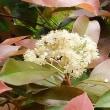 紅カナメの花