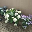 ことしの紫陽花たち。