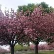 八重桜も盛りを過ぎて。