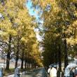 滋賀・マキノのメタセコイアは黄葉から紅葉へ