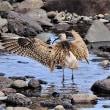 今日の野鳥    チュウシャクシギ
