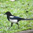 台北探鳥旅行 2日目 大安森林公園