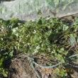 サツマイモの蔓切りをしました