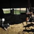 愛のバロメーターと子牛