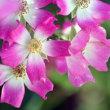 梅の実と安曇野薔薇
