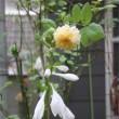 雨の庭はバラとホスタと