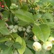 ベンジャミナバロック クリクリカールの葉!可愛い夏花火日々草