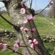 Prunus davidiana ❛Haru Ichiban❜
