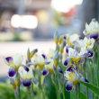 北海道ではアヤメや花菖蒲の季節が終わりました