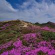 くじゅう、山開きの日の登山p9(稲星山のミヤマキリシマ)