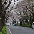 桜、咲く・・・。