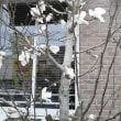 辛夷の花が咲いていました!