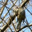 枝の上のヒヨドリ