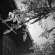 春燈街道、藤蕾