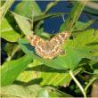 半夏生の蝶
