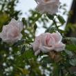 雨続きだけどバラ、ぼちぼちと・・・