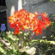 モミジバゼラニウム 紅葉葉Geranium