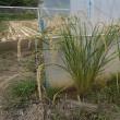 自給稲作の勉強会10月(田んぼの土づくり&稲のための土づくり)