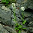 岩壁に咲くハマハタザオ