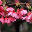 雨に濡れた寒緋桜