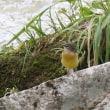 ホオジロ キセキレイ幼鳥