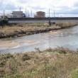 白鷺が川の中に沢山