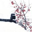 霜が降りても 雪が降っても 赤い柿の実