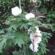 白い牡丹の咲いた時友が逝く