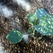 夏まきキャベツー7月まきの定植と8月のタネまき