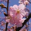 早咲きの桜・撮り直し。