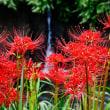 今治市玉川町の彼岸花がほとんど満開になっています