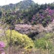 岩城島の桜