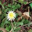 やっと咲いたサクランボの花
