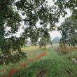 稲田と柿の木