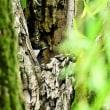今日の野鳥  カワセミ ・ サシバ(在庫より若鳥特集)