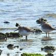18 01 15 香枦園浜に憩う水鳥たち