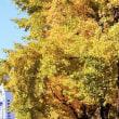 イチョウの黄葉・横浜山下公園通り-3