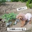 時期を間違えた大豆!ささげ植え替え(^O^)