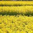 菜の花の小道