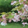 さいたま市桜区の桜草公園では、絶滅危惧種ののチョウジソウが花を咲かせています