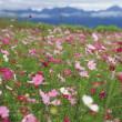 鼻高展望花の丘のコスモス2018(その2)